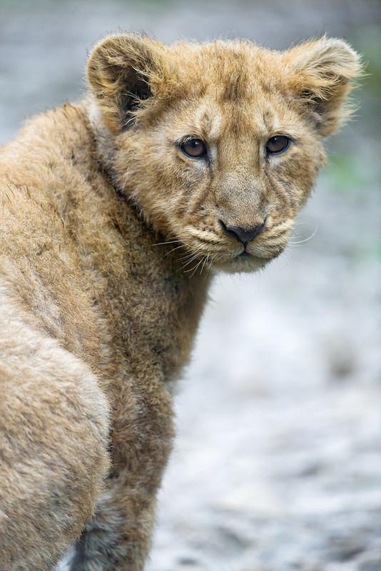 Atentive lion cub
