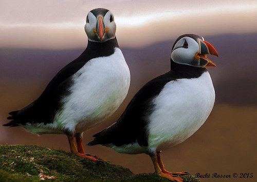 Puffin - 'Make sure you smile for the Camera'