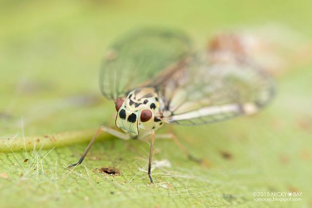 Net-winged planthopper (Nogodinidae) - DSC_4307