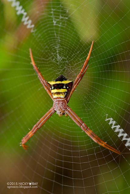 St Andrew's cross spider (Argiope reinwardti) - DSC_5599