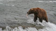 Misio idzie zjeść zła[anego łososia