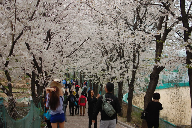 Cherry Blossoms, South Korea