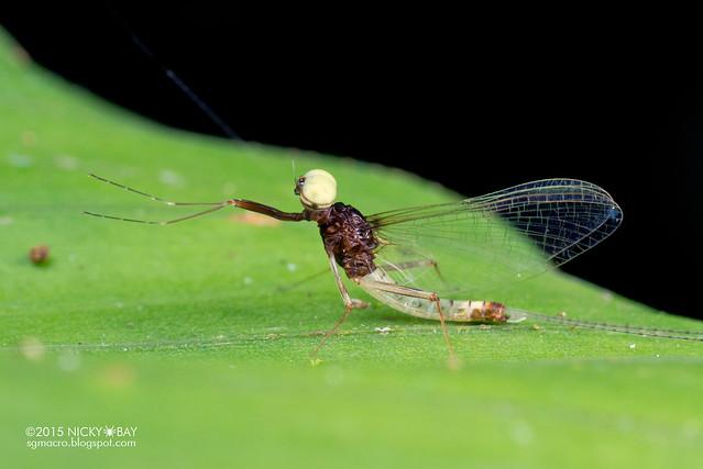 Mayfly (Ephemeroptera) - DSC_4806