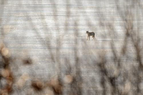 Coyote_43167.jpg