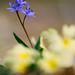 scilla bifolia by michelafoto