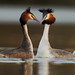Great Crested Grebe's by Martial2010