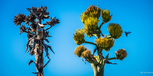 two flower bird nikon hummingbird sandiego beak bluesky cropped vignetting 2015 d600 sandiegocalifornia birdbeak tedmcgrath tedsphotos nikonfx d600fx