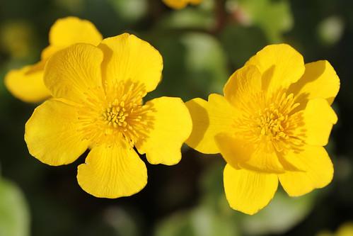 Populage des marais (Caltha palustris var. palustris)