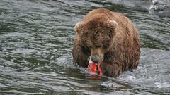 Niedźwiedź zajada rybkę