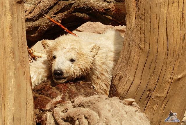 Eisbär Fiete Zoo Rostock 11.04.2015 Teil 1 193