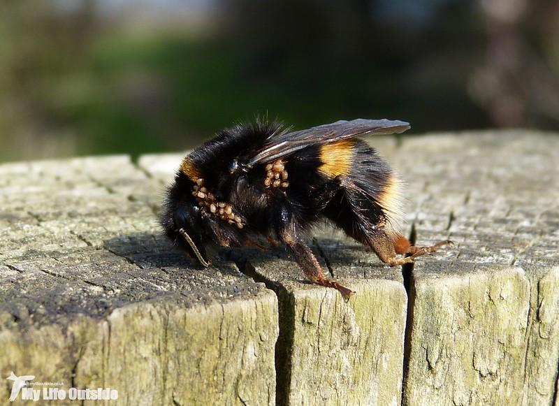 P1110866 - Bee with Tics