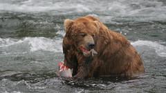 Niedźwiedź spożywa łososia