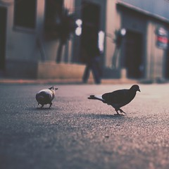 A pair of pigeons perusing the paving. || Taken on the streets of Newtown, Johannesburg. || #KeepWondering #madewithfaded @madewithfaded #igersjozi @igersjozi #urban #street #birdgram #bird #jozi #johannesburg #canon #DSLR #NewtownMeet #instameet #city #C
