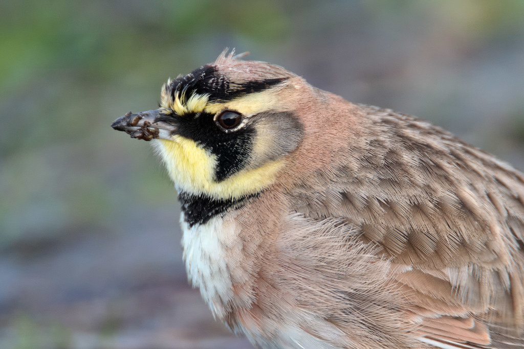A close-up view of a male horned lark
