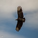 Black Vulture - Photo (c) D. Alexander Carrillo Mtz., some rights reserved (CC BY)