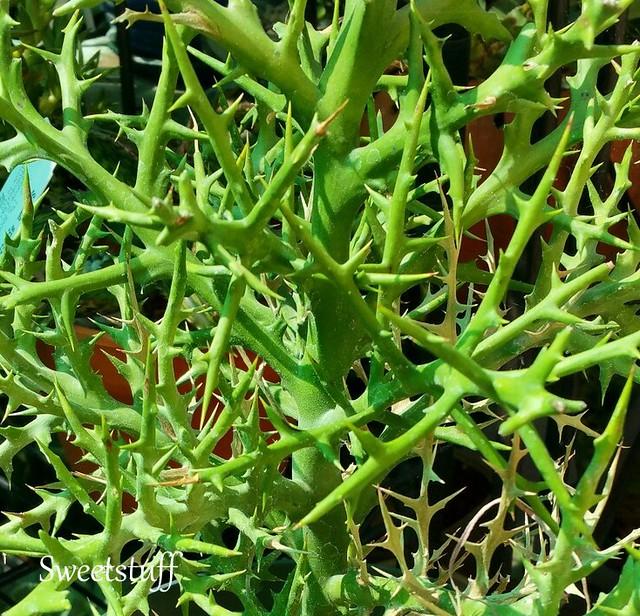 Euphorbia stenoclada (2)