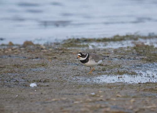 Ringed Plover, Broom GP, 8th May 2016