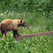 How does a Black Bear cross a meadow? by alicecahill
