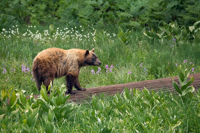 How does a Black Bear cross a meadow?