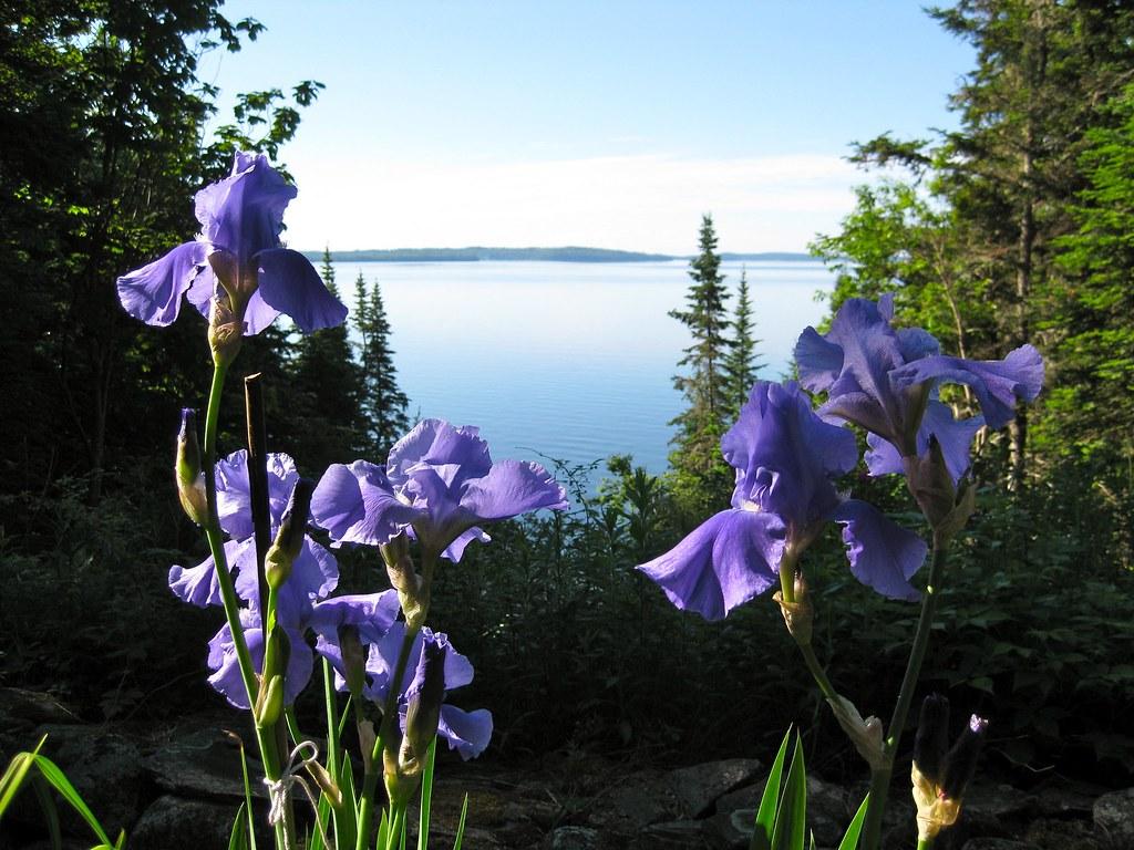 Bearded Iris frame Penobscot Bay - June
