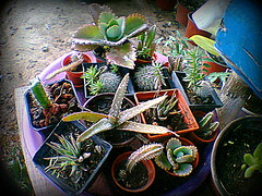 Varios Cactus y suculentas bebé
