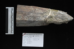 Side view of beak tip of 17 million year old whale fossil