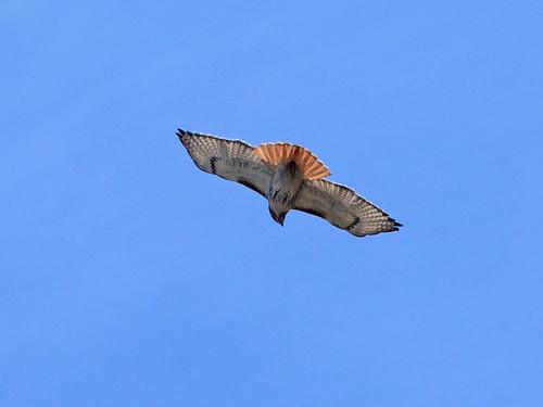Circling Adult Hawk - 7117