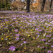 Carpet of croci by A_Peach