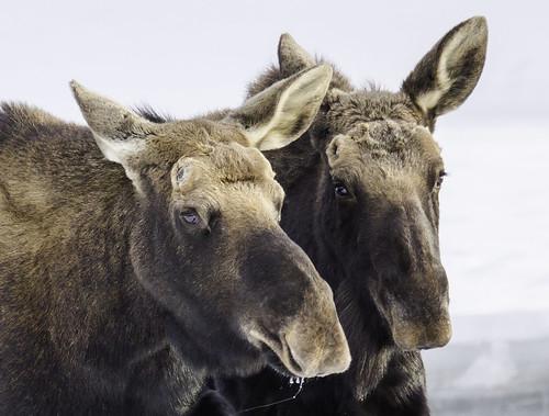 2 Moose