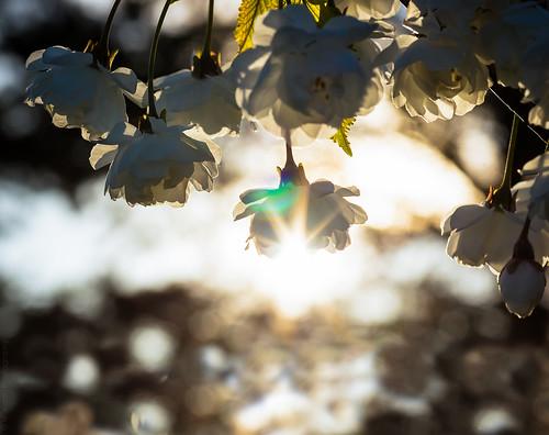 Cherry Blossom // 22 04 15
