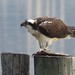 Osprey by nature-flics