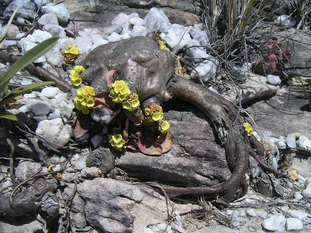 Euphorbia quartziticola 3