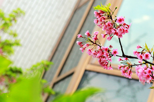 2015隨拍櫻花 (3)