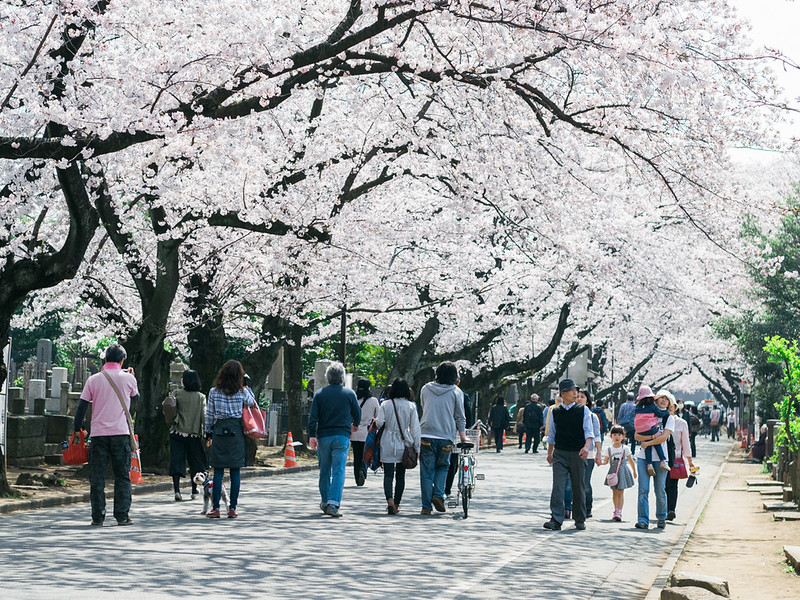 Yanaka Cemetery during Cherry Blossom Season