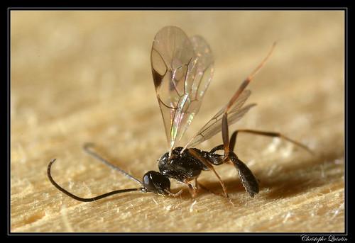 Cryptinae/Phygadeuontini