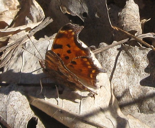 Eastern comma, Starkweather Creek
