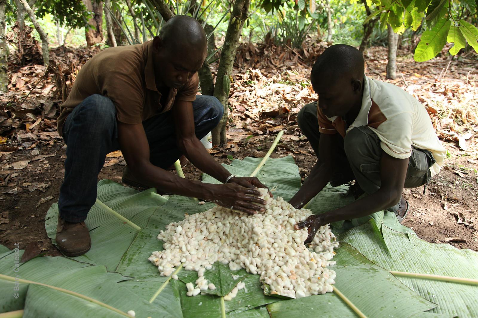 Cocoa farming Côte d'ivorie