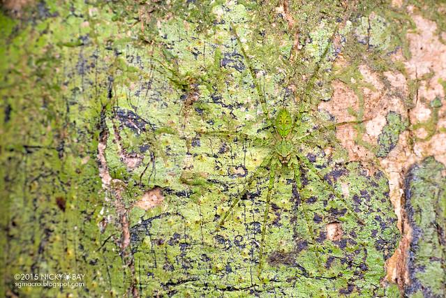 Lichen wandering spider (Acantheis sp.?) - DSC_5139