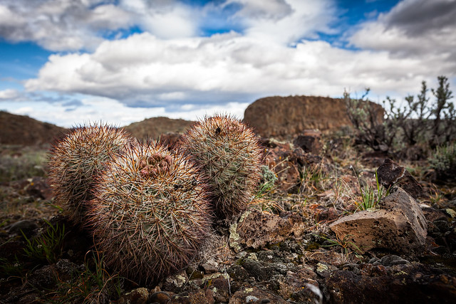 Hedgehog Cactus on the Babcock Bench