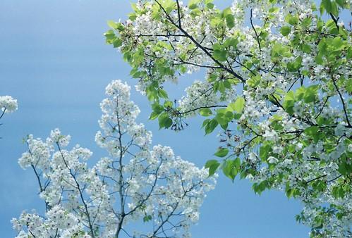 Sakura & Blue sky