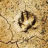 Tras las huellas del hermano lobo. #lobo Lobo vivo. Lobo protegido Ya . cuándo acabará la caza del lobo en España? @LoboMarley