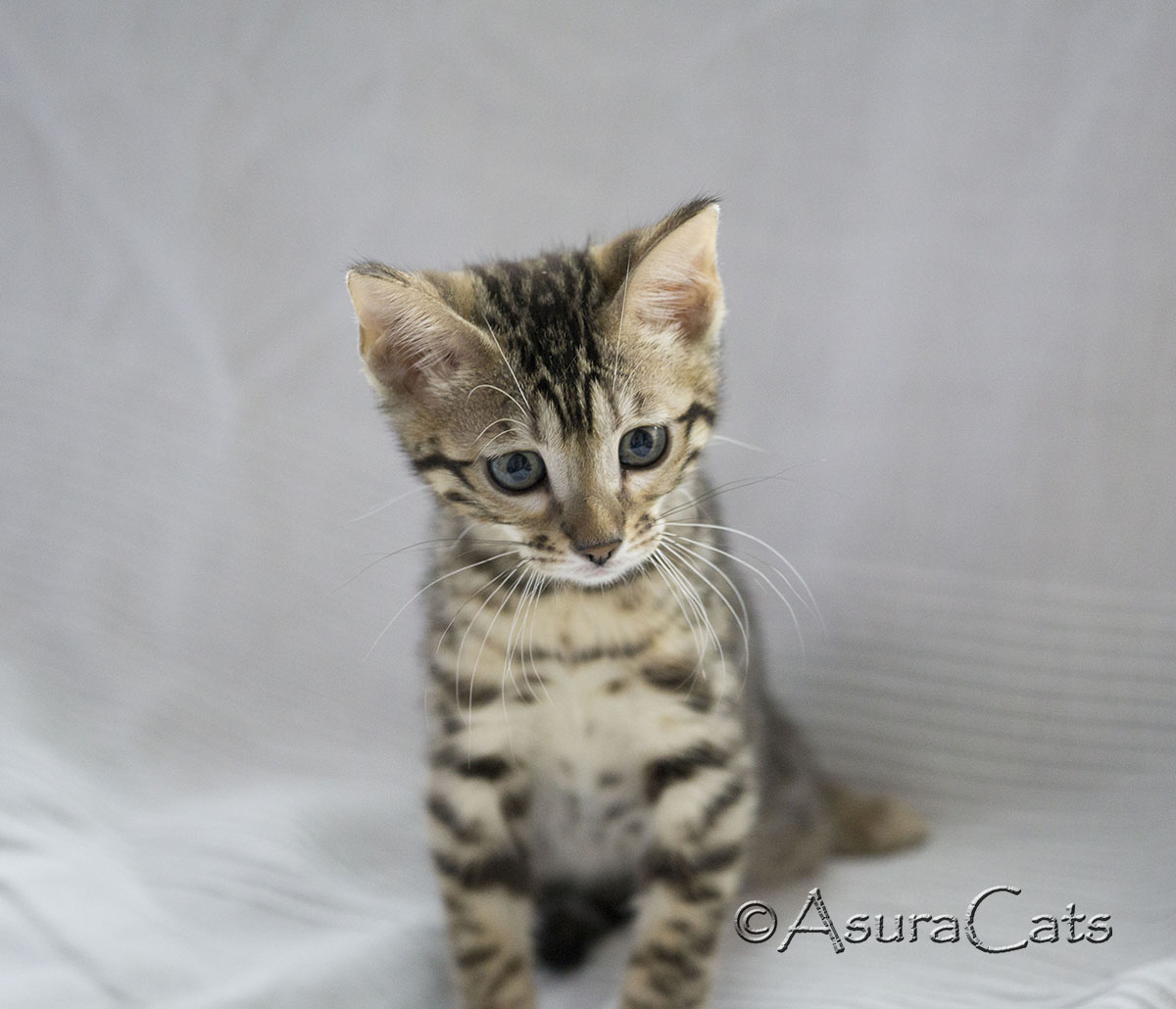 AsuraCats Brown spotted female Bengal kitten