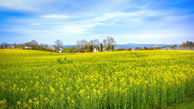 Fields of Yellow