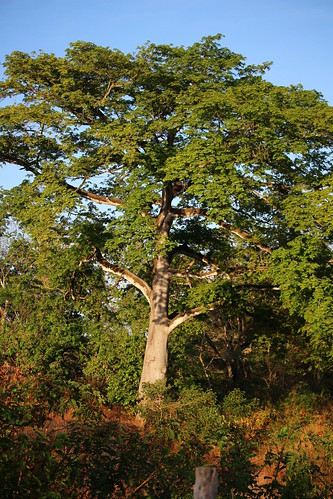 santacruz tree arbol ceiba guanacaste pseudobombaxseptenatum