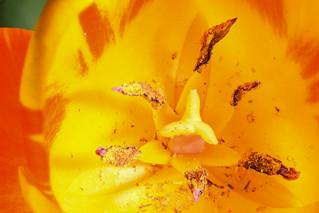 Yellow orange variegated tulip