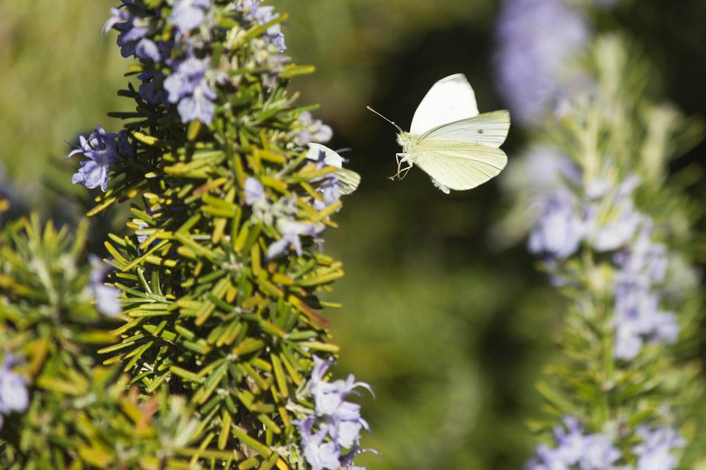 Mariposa y romero