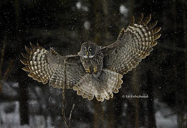 сильная и грациозная сова