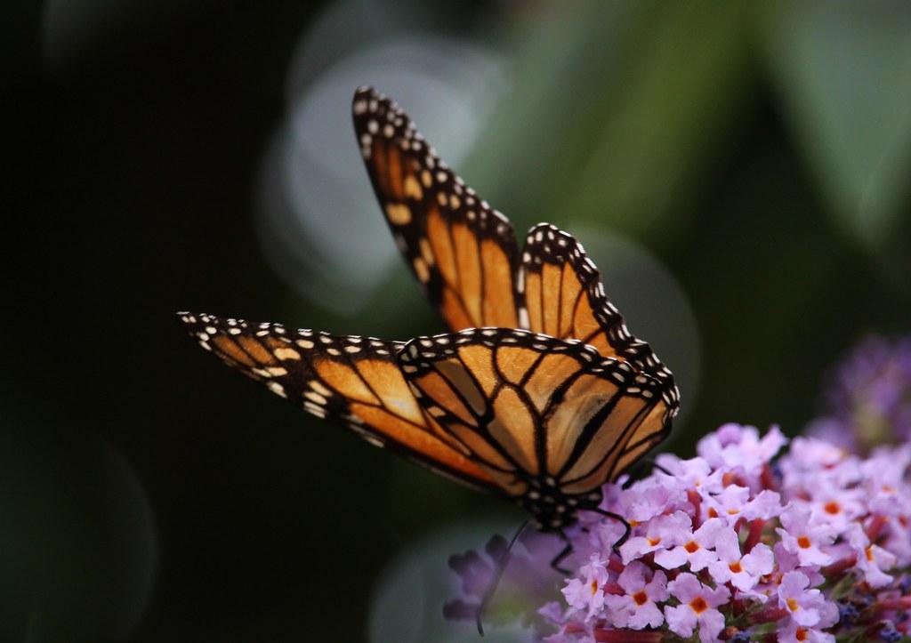 Butterfly on Buddlea