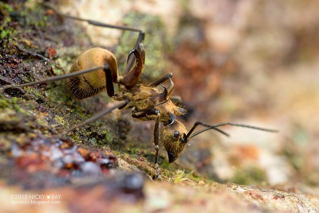 Fish hook ant (Polyrhachis ypsilon) - DSC_3477