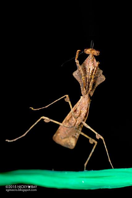Dead leaf mantis (Deroplatys sp.) - DSC_4279